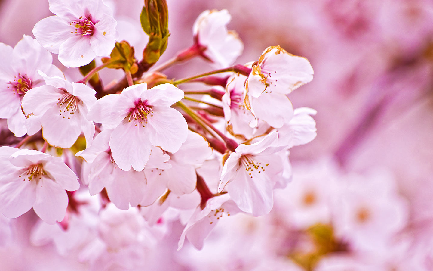 Description: Nature Sakura Flower is a hi res Wallpaper for pc