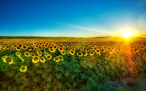Nature Sunflower field