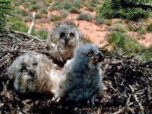 Owl Chicks HD Wallpaper