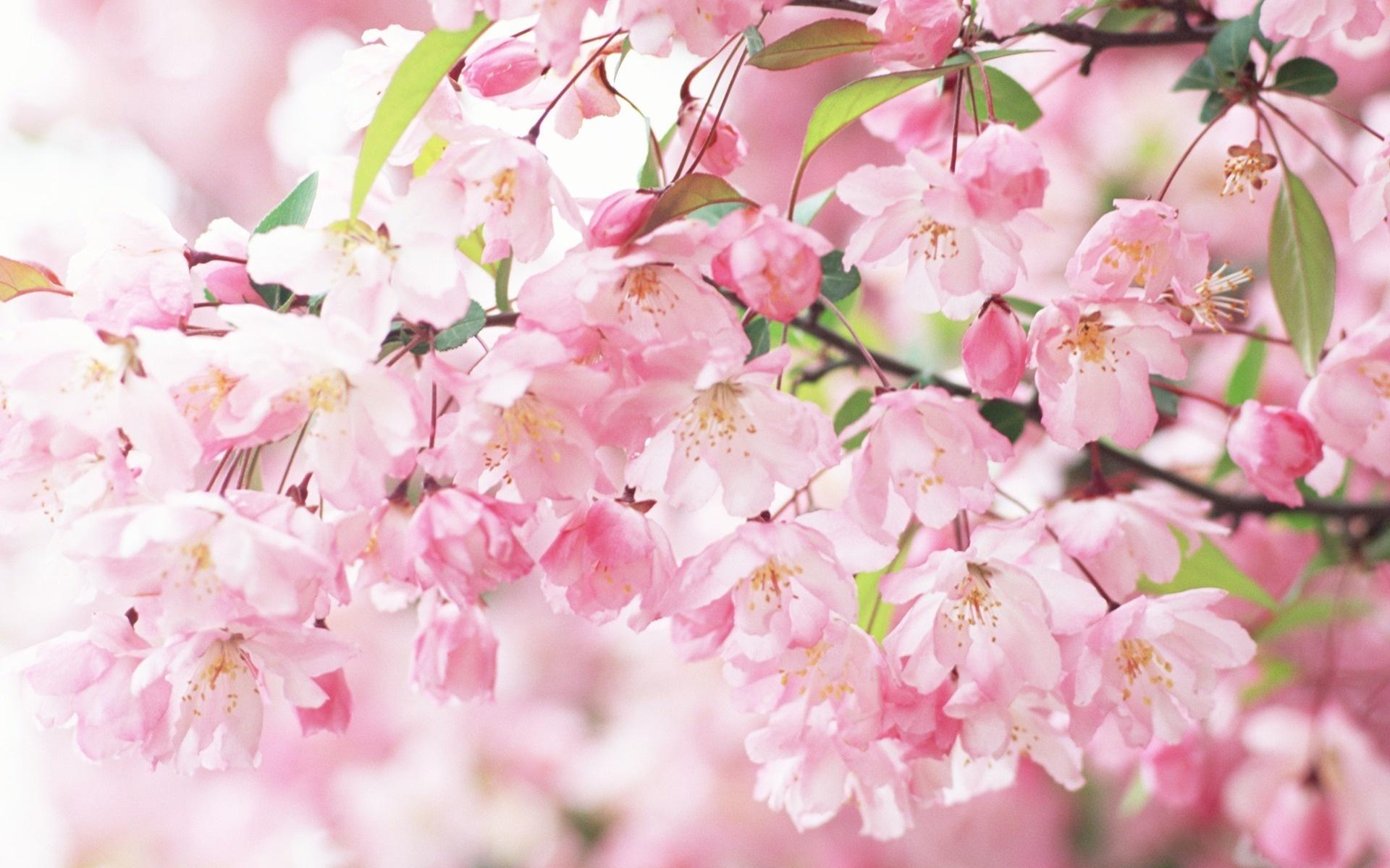 Sakura Spring Flowers Wallpaper