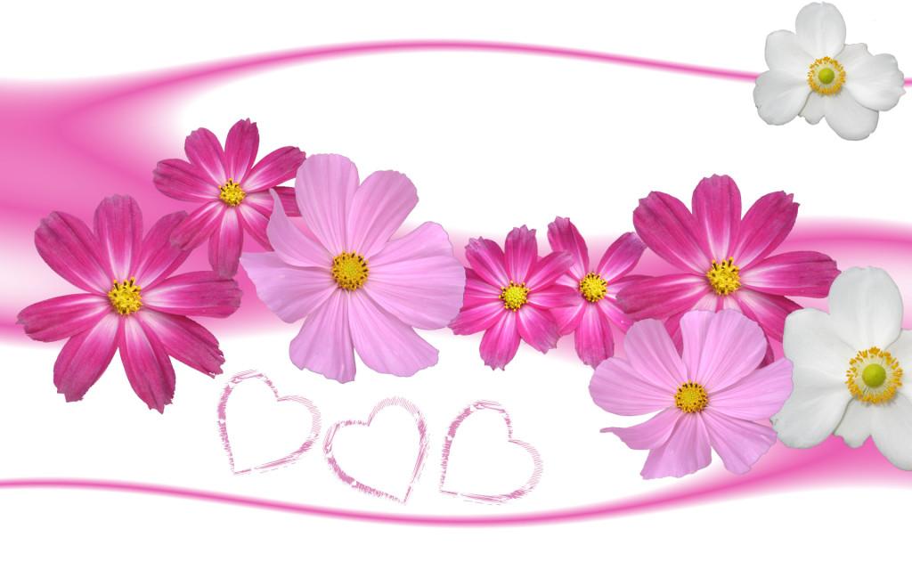 wallpaper rose in love aster flower