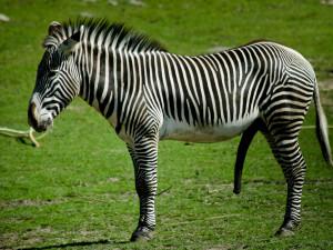 Animal zebra Wallpaper