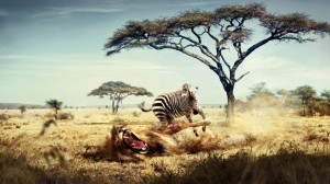 Attacking Zebra HD Wallpaper