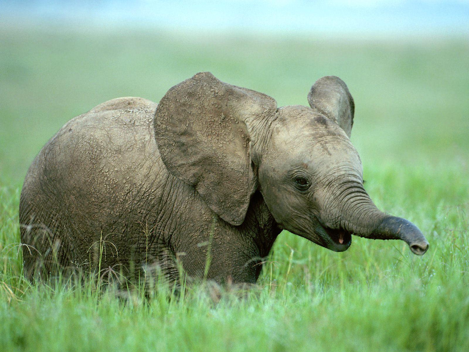 Baby-Elephant-Wallpaper.jpg