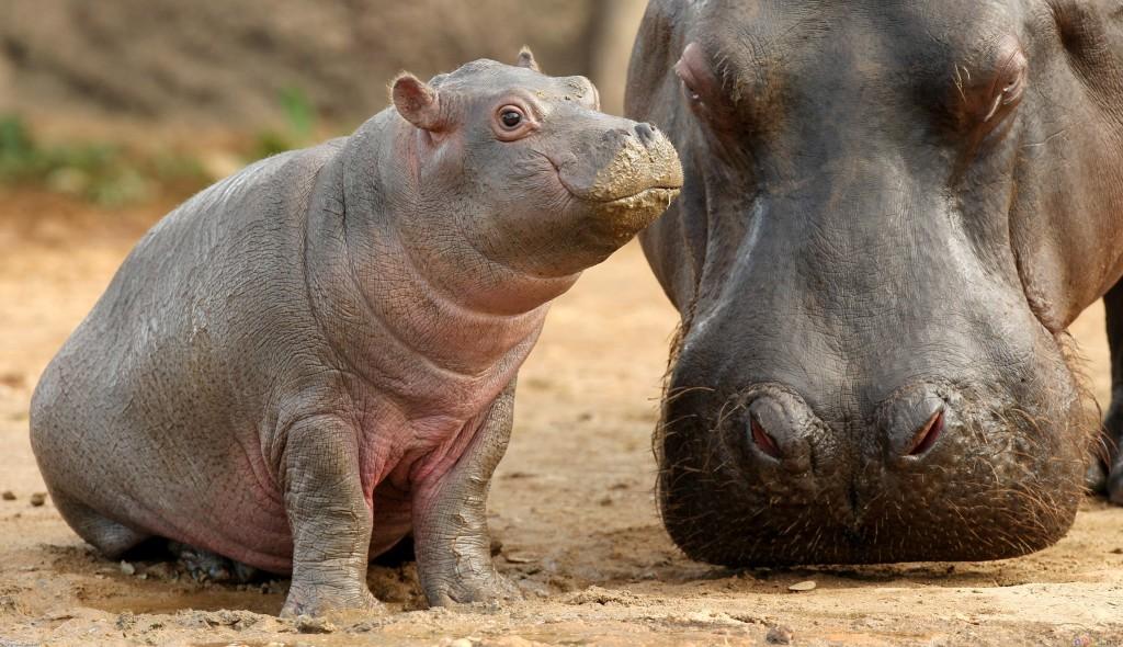 Baby Hippos Wallpaper