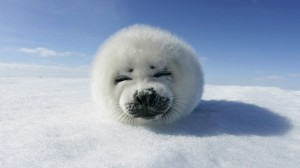 Baby Seal HD Wallpaper