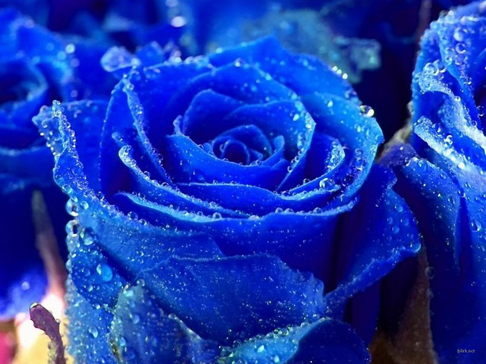 Single Blue Rose Wallpaper