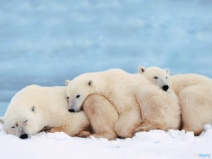 Cute Baby Polar Bear Wallpaper