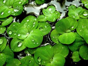 Green Lilies Wallpaper