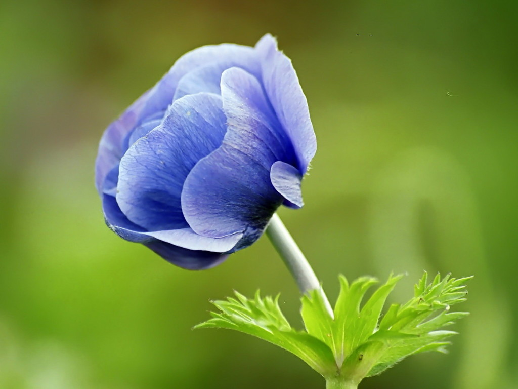 Narute Blue Flower Wallpaper