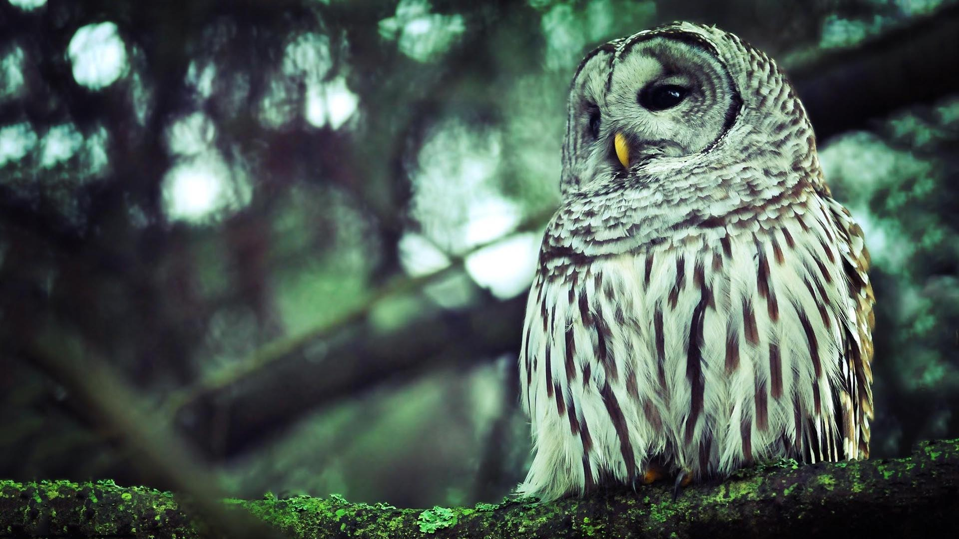 Owl desktop wallpaper hd - photo#3