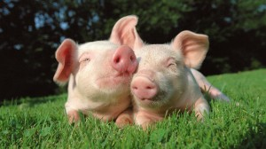 Piglets HD Wallpaper