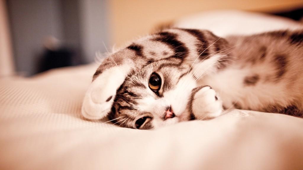 Sleepy Kitty HD Wallpaper