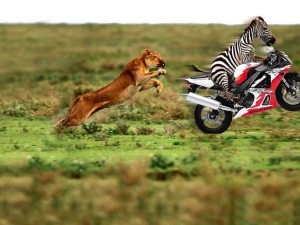 Zebra And Lion Funny Wallpapers