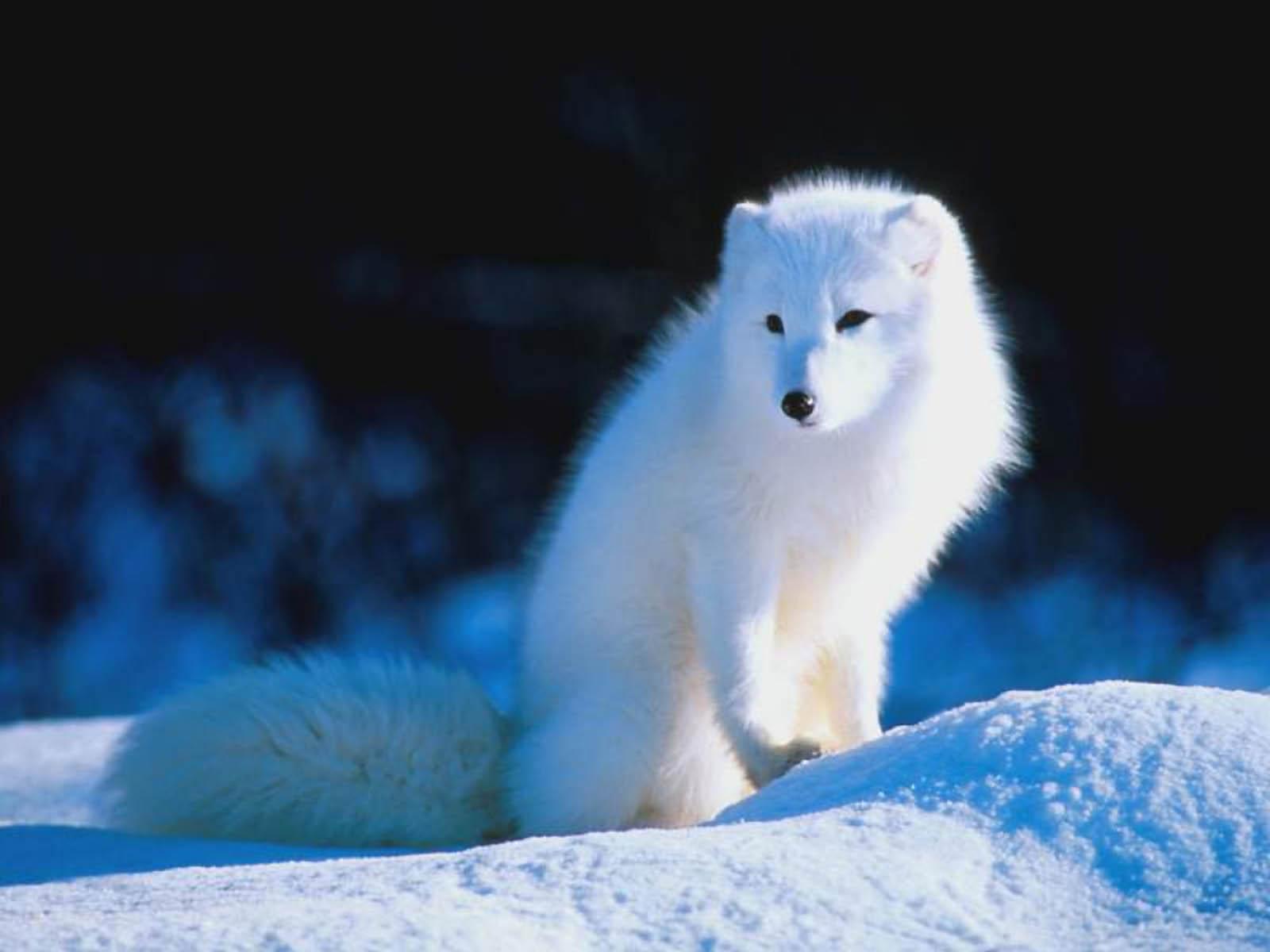 http://wallpup.com/wp-content/uploads/2013/03/Arctic-Fox-Wallpaper.jpg