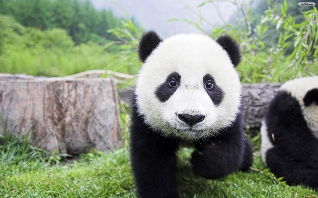 Baby Panda Wallpaper
