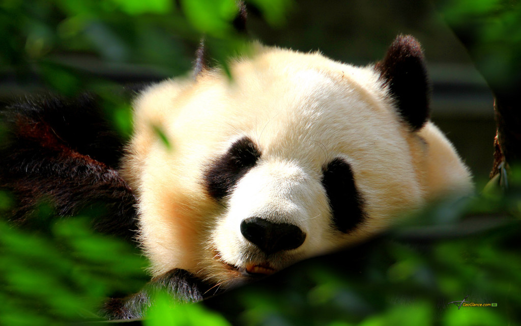 Cute Panda Wallpaper