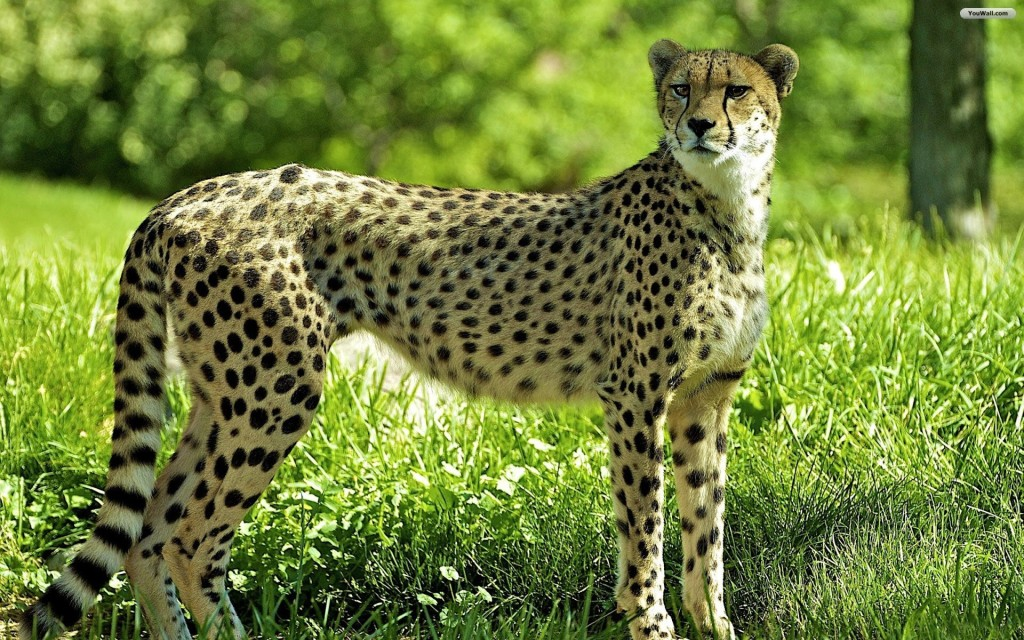 Download Cheetah Wallpaper