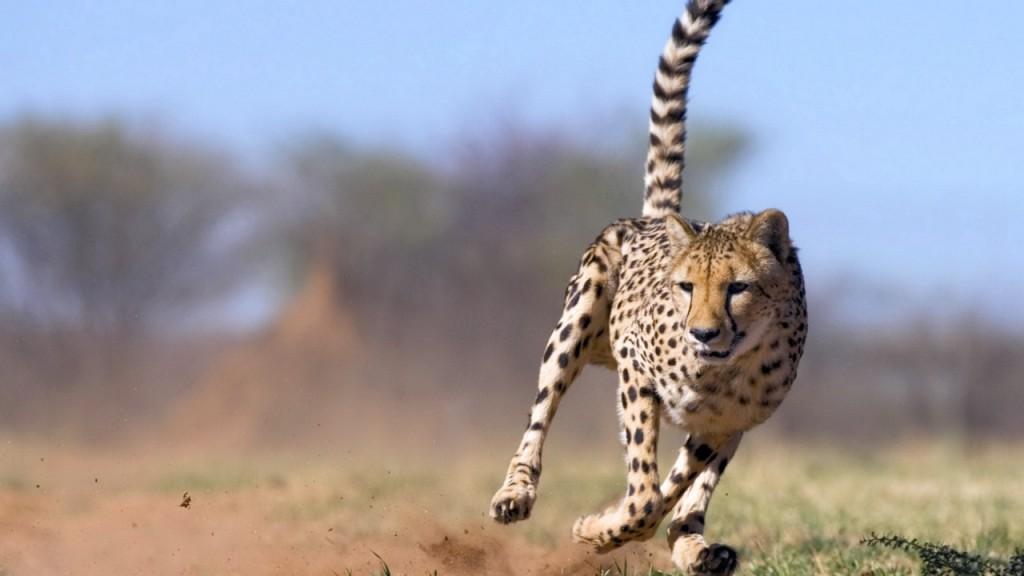 Free Cheetah Wallpaper