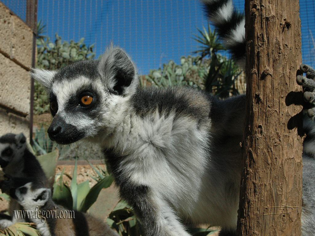 Free Lemurs Wallpaper