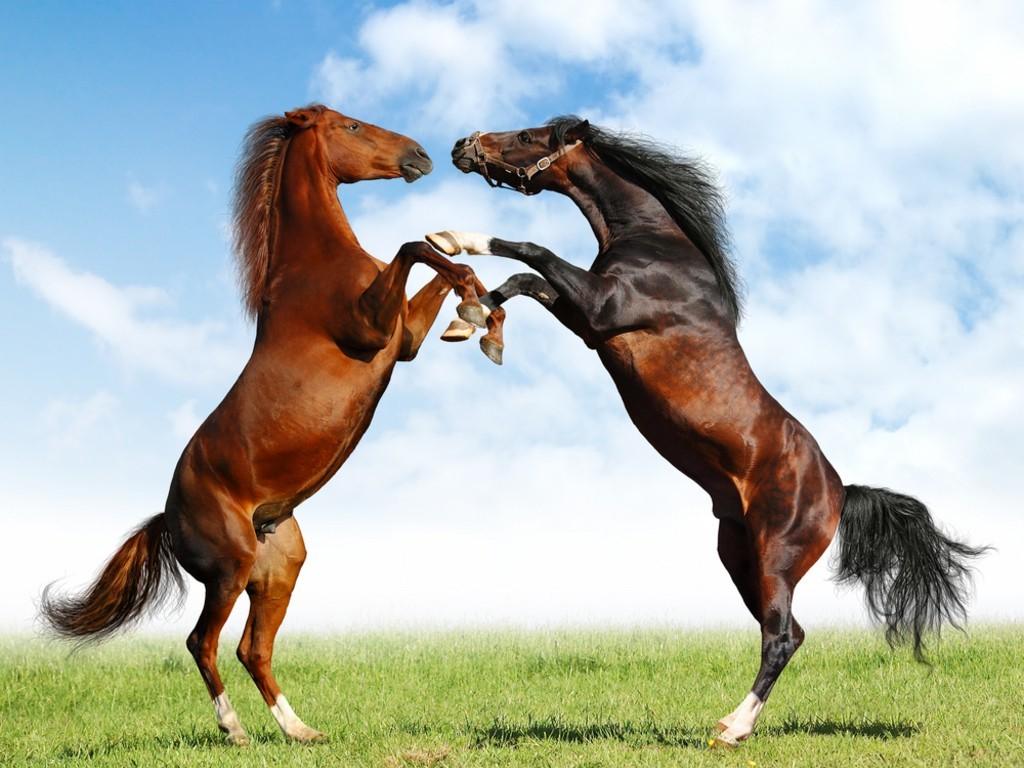 Horses Wallpaper HD