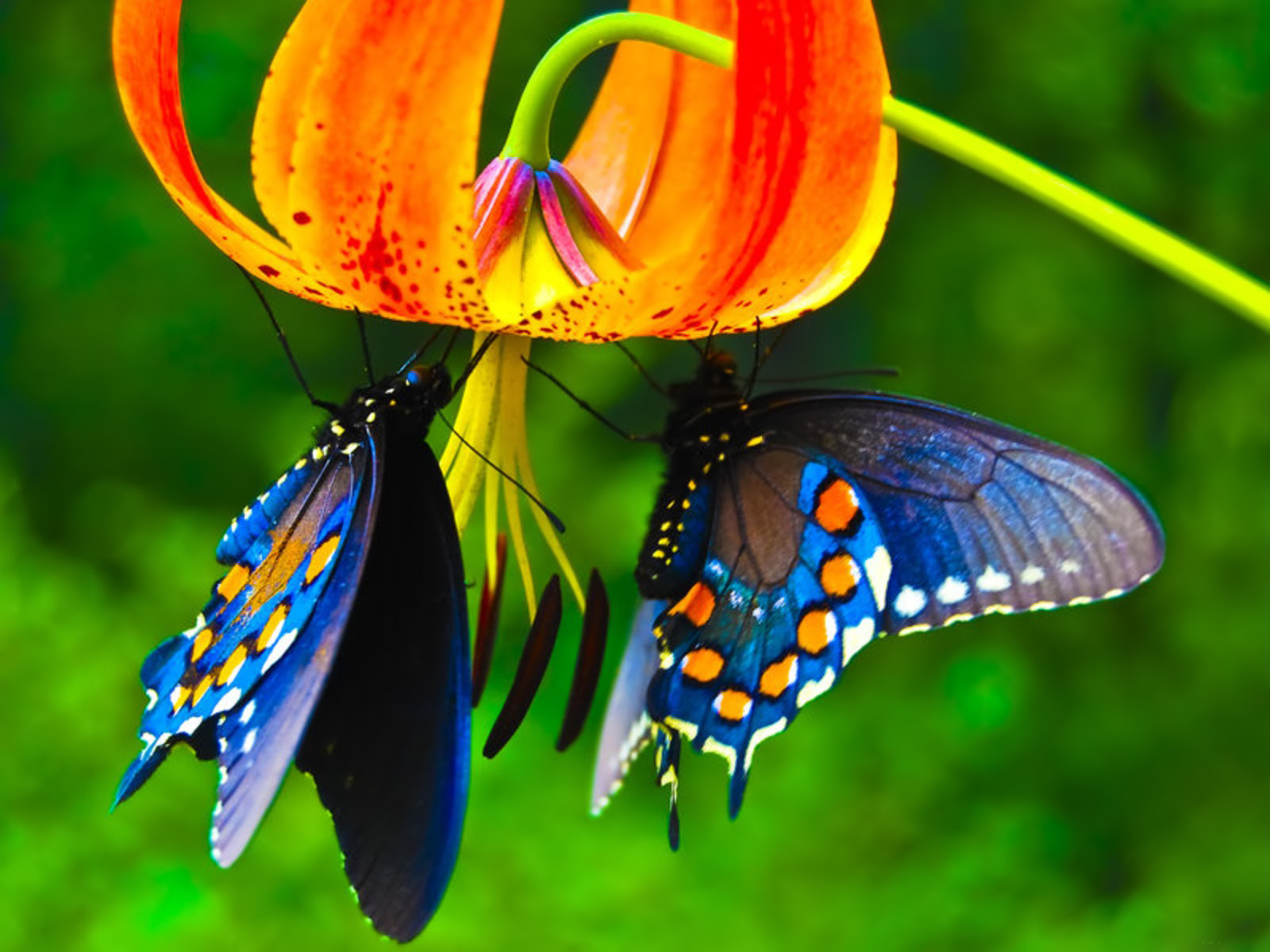 Description: King Priamos Butterfly Wallpaper is a hi res Wallpaper ...