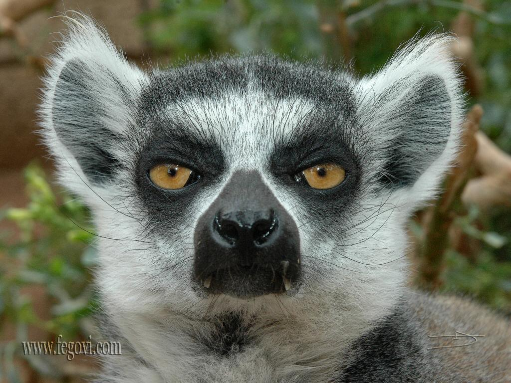 Lemurs Animal