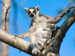 Lemurs HD