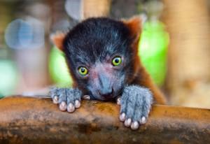 Lemurs Wallpaper