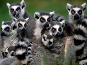 Lemurs Wallpaper HD