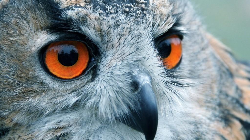 Owl Eyes Wallpaper