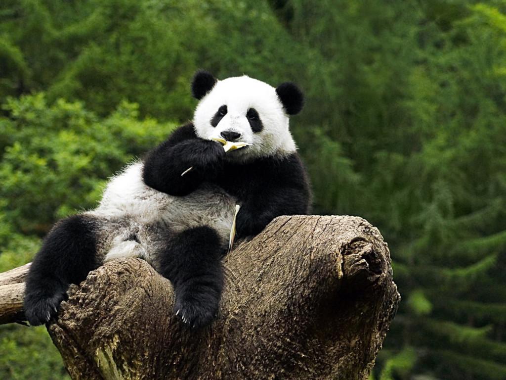 Panda Wallpaper HD