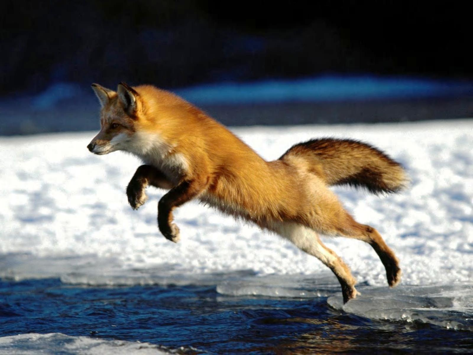 red fox hd wallpapers - photo #7