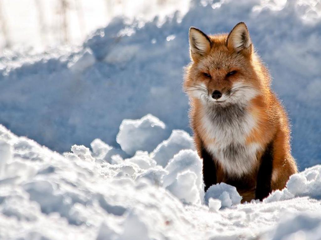Red Fox Wallpaper HD