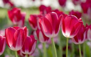 Spring Flowers HD