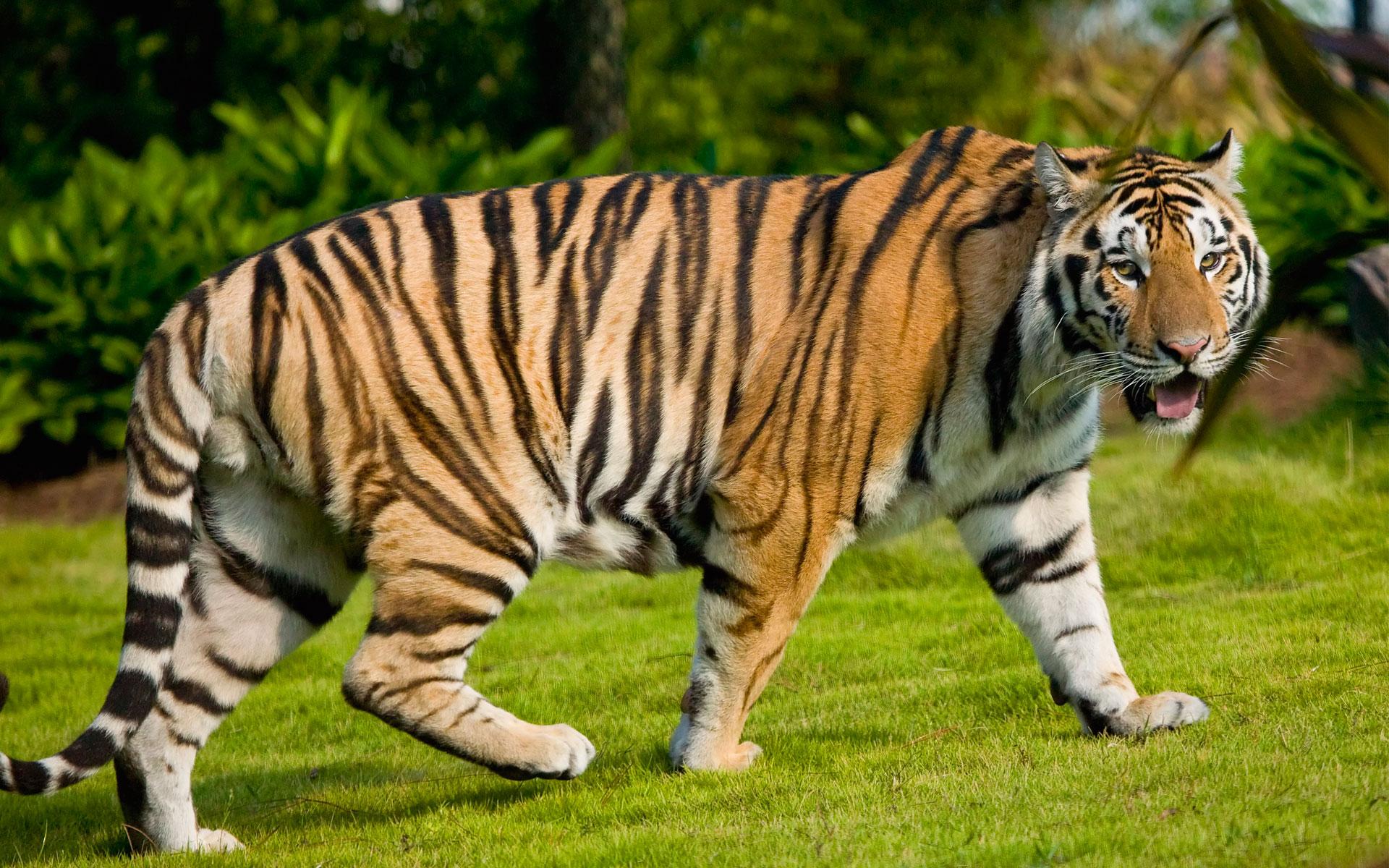 Description: Tiger Widescreen Wallpaper is a hi res Wallpaper for pc ...