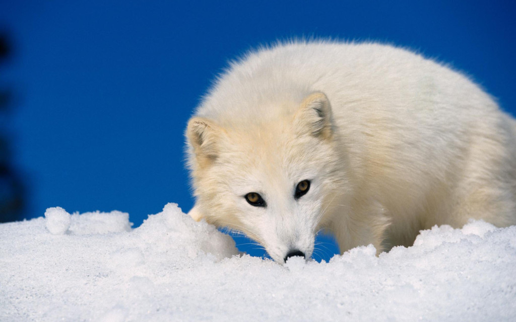 White Fox Wallpaper