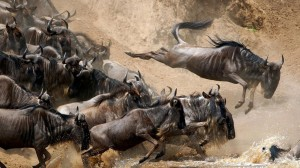 Wildebeests Crossing River