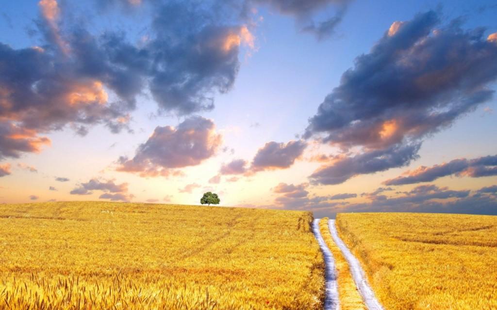 Yellow Corn Field