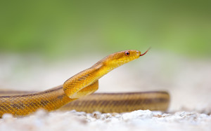 Yellow Snake Wallpaper HD