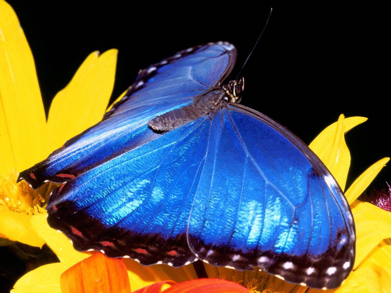 Blue Butterfly Wallpaper HD   Wallpup.com