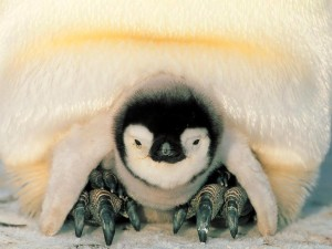 Cute Baby Emperor Penguins HD Wallpaper
