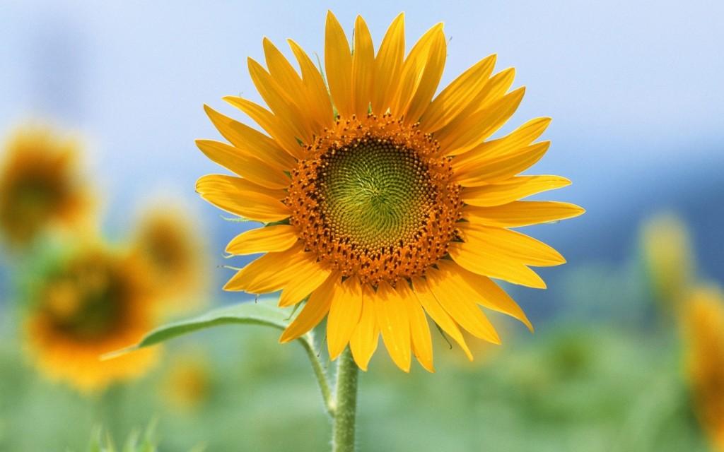 Single Sun Flowers Wallpaper