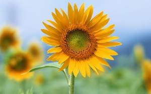 Single Sun Flowers Wallpaper